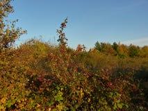 Baies d'aubépine sur une branche avec le laevigata vert de crataegus de feuilles Image libre de droits