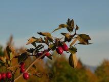 Baies d'aubépine sur une branche avec le laevigata vert de crataegus de feuilles Photographie stock libre de droits