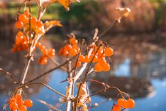 Baies d'Autumn Orange photos libres de droits