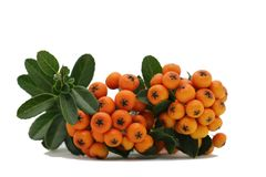 Baies d'orange de Firethorn de Pyracantha images stock