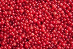 Baies d'une groseille rouge Photos libres de droits