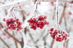 Baies de cendre dans la neige Photographie stock