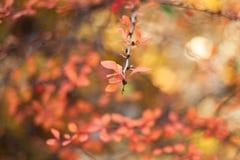 Baies de cornouiller sur les branches, sur un fond color? Foyer s?lectif Profondeur de zone Image modifi?e la tonalit? photo libre de droits