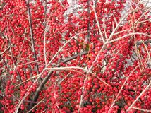 Baies de Cotoneaster photographie stock libre de droits