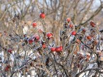 Baies de Dogrose en hiver Photographie stock libre de droits