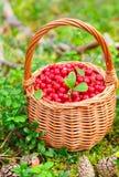 Baies de forêt Airelle rouge juteuse mûre dans le panier en osier dans la forêt d'automne Photos libres de droits