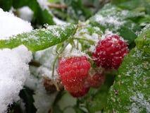 Baies de framboises en hiver de neige Images libres de droits