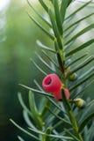 Baies de genévrier Juniperus communis branchement Image libre de droits