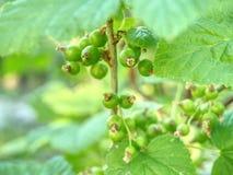 Baies de grenat de Riping sur la branche dans le jardin Groseille rouge verte aigre photos stock