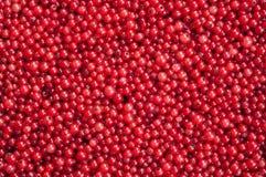 Baies de groseille rouge Photos libres de droits