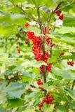 Baies de groseille rouge sur un arbuste dans le jardin Groseille rouge sur un plan rapproch? de branche photos stock