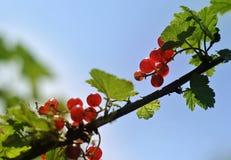 Baies de groseille rouge sur une branche Photographie stock libre de droits