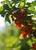 Baies de groseille rouge sur une branche Photos libres de droits