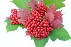 baies de Guelder-rose avec des feuilles sur un fond blanc Images stock