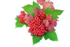 baies de Guelder-rose avec des feuilles sur un fond blanc Photographie stock