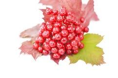 baies de Guelder-rose avec des feuilles sur un fond blanc Image stock