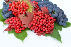 baies de Guelder-rose avec des raisins sur un fond blanc Photo libre de droits