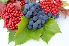 baies de Guelder-rose avec des raisins sur un fond blanc Photo stock
