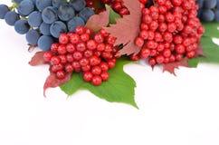 baies de Guelder-rose avec des raisins sur un fond blanc Images stock