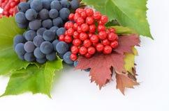 baies de Guelder-rose avec des raisins sur un fond blanc Images libres de droits