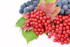 baies de Guelder-rose avec des raisins sur un fond blanc Photos stock