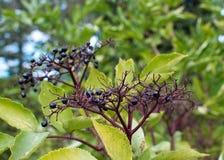 Baies de nigra de Sambucus d'aîné noir Photographie stock