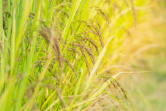 Baies de pourpre de riz de barbelure image libre de droits