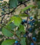 Baies de prunellier dans la forêt Photographie stock libre de droits