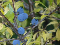 Baies de prunellier sur le spinosa de Prunus de prunellier Arbuste épineux dans le Rosaceae de famille rose avec le groupe de fru Photographie stock