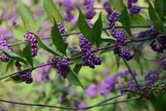 Baies de raisins sur une branche d'un buisson Photos libres de droits