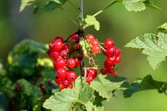 Baies de rubrum de groseille rouge ou de Ribes s'élevant le jour ensoleillé chaud Images stock