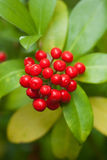 Baies de Skimmia Images stock