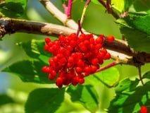 Baies de sorbe rouges Photos stock