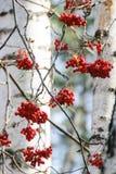 Baies de sorbe sur les branches d'arbre nues Photographie stock libre de droits