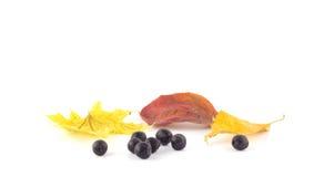 Baies de sorbe sur les feuilles d'automne Image stock