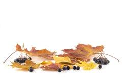 Baies de sorbe sur les feuilles d'automne sur un fond blanc Image stock