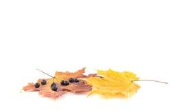 Baies de sorbe sur les feuilles d'un érable Photo stock
