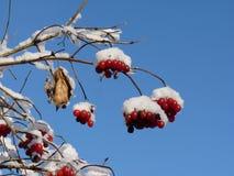 Baies de Viburnum couvertes dans la neige à l'hiver Les groupes de viburnum rouge, baies rouges, Guelder ont monté Images stock