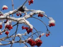 Baies de Viburnum couvertes dans la neige à l'hiver Les groupes de viburnum rouge, baies rouges, Guelder ont monté Images libres de droits