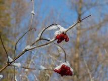 Baies de Viburnum couvertes dans la neige à l'hiver Les groupes de viburnum rouge, baies rouges, Guelder ont monté Photographie stock