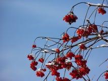 Baies de Viburnum couvertes dans la neige à l'hiver Les groupes de viburnum rouge, baies rouges, Guelder ont monté Image stock