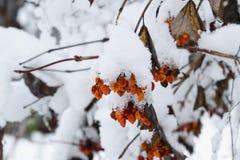 Baies de Viburnum dans la neige Baies d'hiver sur l'arbre Kalina Photographie stock libre de droits