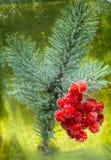 Baies de Viburnum et branches impeccables Photographie stock
