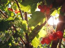 Baies de Viburnum, soirée ensoleillée dans le jardin Photographie stock libre de droits
