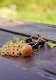Baies des groseilles et de la groseille à maquereau Images stock