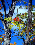 Baies en automne Photographie stock