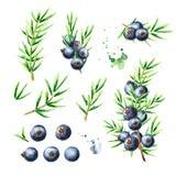 Baies et branches de genévrier réglées Illustration tirée par la main d'aquarelle, d'isolement sur le fond blanc illustration libre de droits