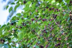 Baies fraîches de mûre sur l'arbre, mûrier images stock