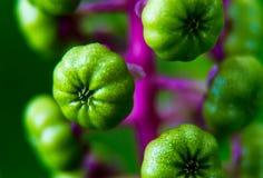 Baies lumineuses de Pokeweed de vert de chaux Image stock