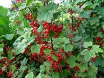 Baies mûres de groseille rouge sur une branche dans le jardin Groseille rouge, Images stock